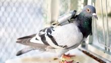 Baylor pigeon