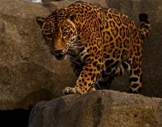 """Jaguar."""